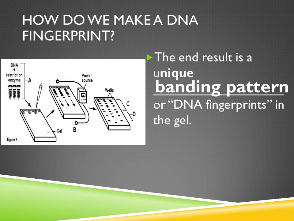 """ The end result is a unique __________________ or """"DNA fingerprints"""" in the gel. HOW DO WE MAKE A DNA FINGERPRINT? banding pattern"""