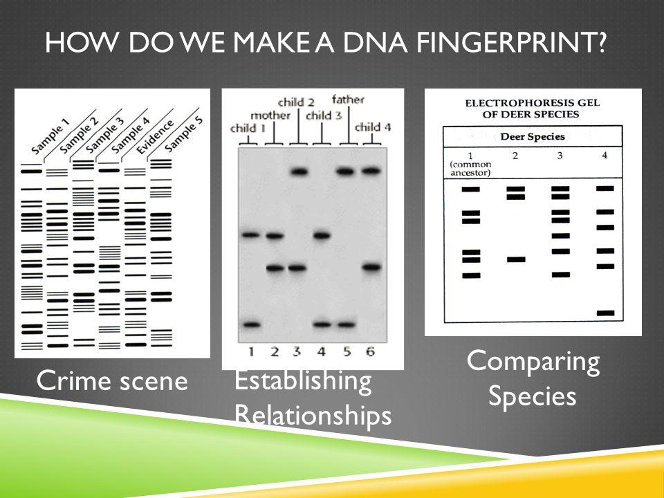 HOW DO WE MAKE A DNA FINGERPRINT? Crime scene Establishing Relationships Comparing Species