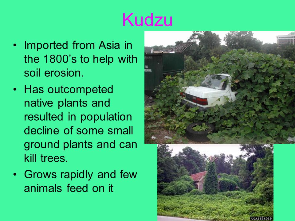 Kudzu Imported from Asia in the 1800's to help with soil erosion. Has outcompeted native plants and resulted in population decline of some small groun