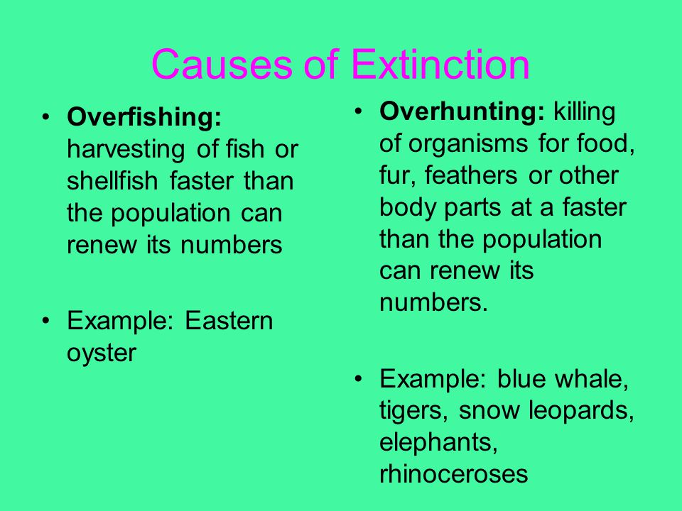 Causes of Extinction Overfishing: harvesting of fish or shellfish faster than the population can renew its numbers Example: Eastern oyster Overhunting