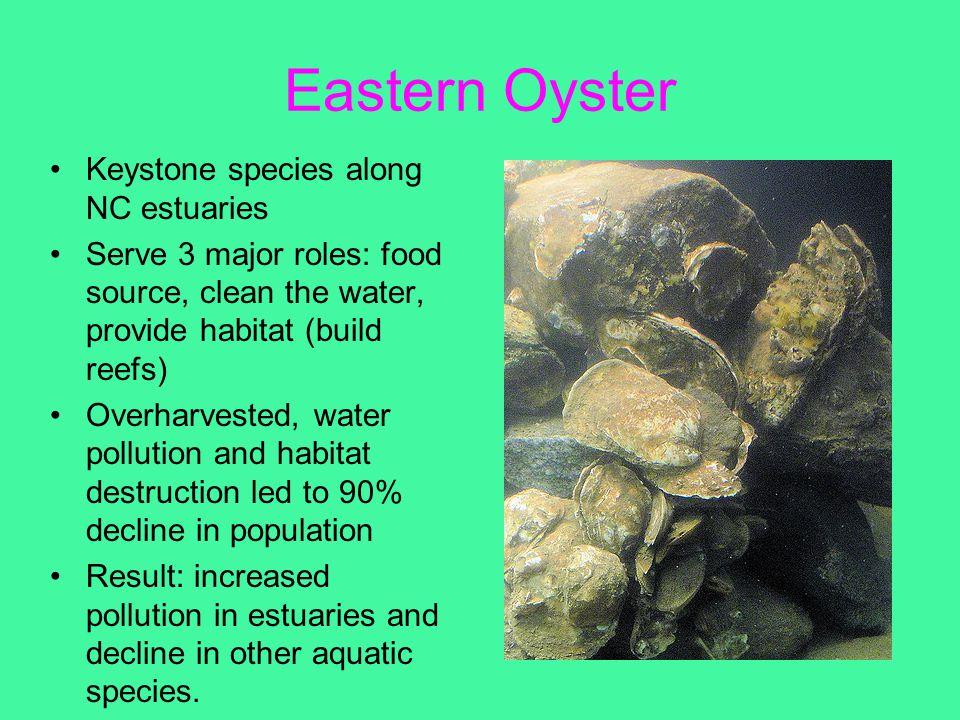 Eastern Oyster Keystone species along NC estuaries Serve 3 major roles: food source, clean the water, provide habitat (build reefs) Overharvested, wat