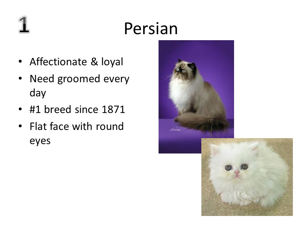 Persian Affectionate & loyal Need groomed every day #1 breed since 1871 Flat face with round eyes