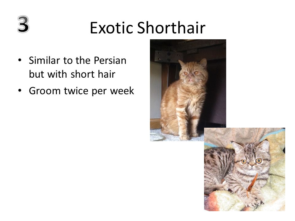 Exotic Shorthair Similar to the Persian but with short hair Groom twice per week