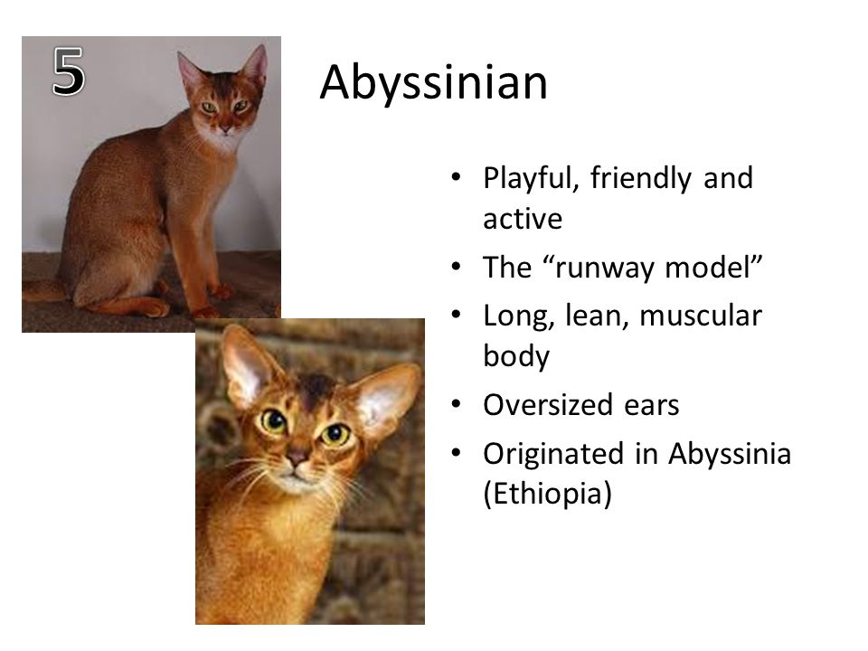 Abyssinian Playful, friendly and active The runway model Long, lean, muscular body Oversized ears Originated in Abyssinia (Ethiopia)