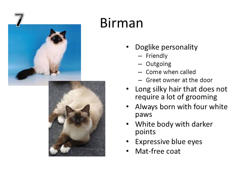 Birman Doglike personality – Friendly – Outgoing – Come when called – Greet owner at the door Long silky hair that does not require a lot of grooming Always born with four white paws White body with darker points Expressive blue eyes Mat-free coat
