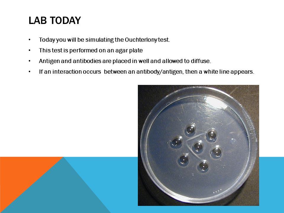 LAB TODAY Today you will be simulating the Ouchterlony test. This test is performed on an agar plate Antigen and antibodies are placed in well and all
