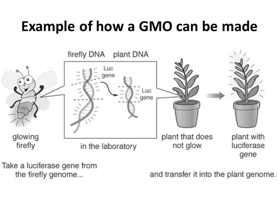 Some examples of GMOs Tobacco plant expressing a gene from fireflies Obese mouse: Animal model to study obesity.