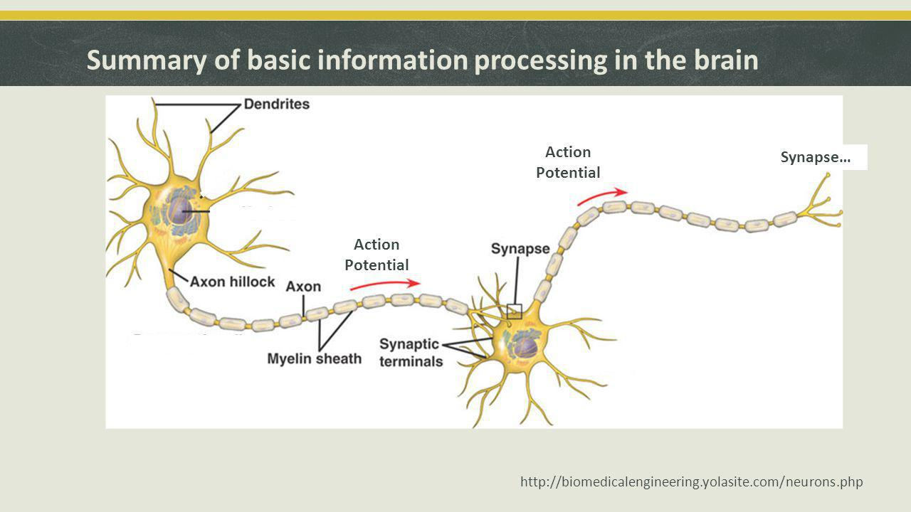 Summary of basic information processing in the brain http://biomedicalengineering.yolasite.com/neurons.php Action Potential Synapse…
