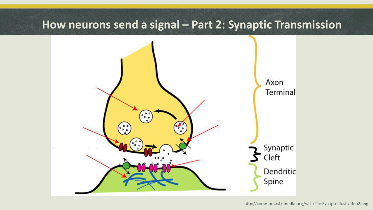 How neurons send a signal – Part 2: Synaptic Transmission http://commons.wikimedia.org/wiki/File:SynapseIllustration2.png