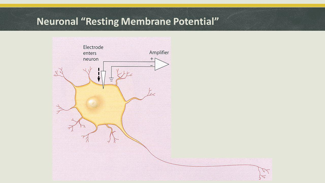 Neuronal Resting Membrane Potential Voltage Display