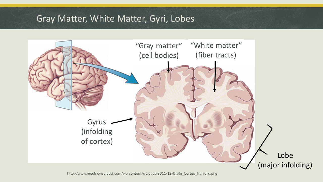 Gray Matter, White Matter, Gyri, Lobes White matter (fiber tracts) Gray matter (cell bodies) Gyrus (infolding of cortex) Lobe (major infolding) http://www.medinewsdigest.com/wp-content/uploads/2011/12/Brain_Cortex_Harvard.png