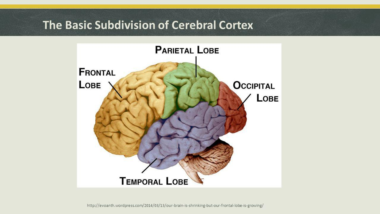 The Basic Subdivision of Cerebral Cortex http://evoanth.wordpress.com/2014/03/13/our-brain-is-shrinking-but-our-frontal-lobe-is-growing/