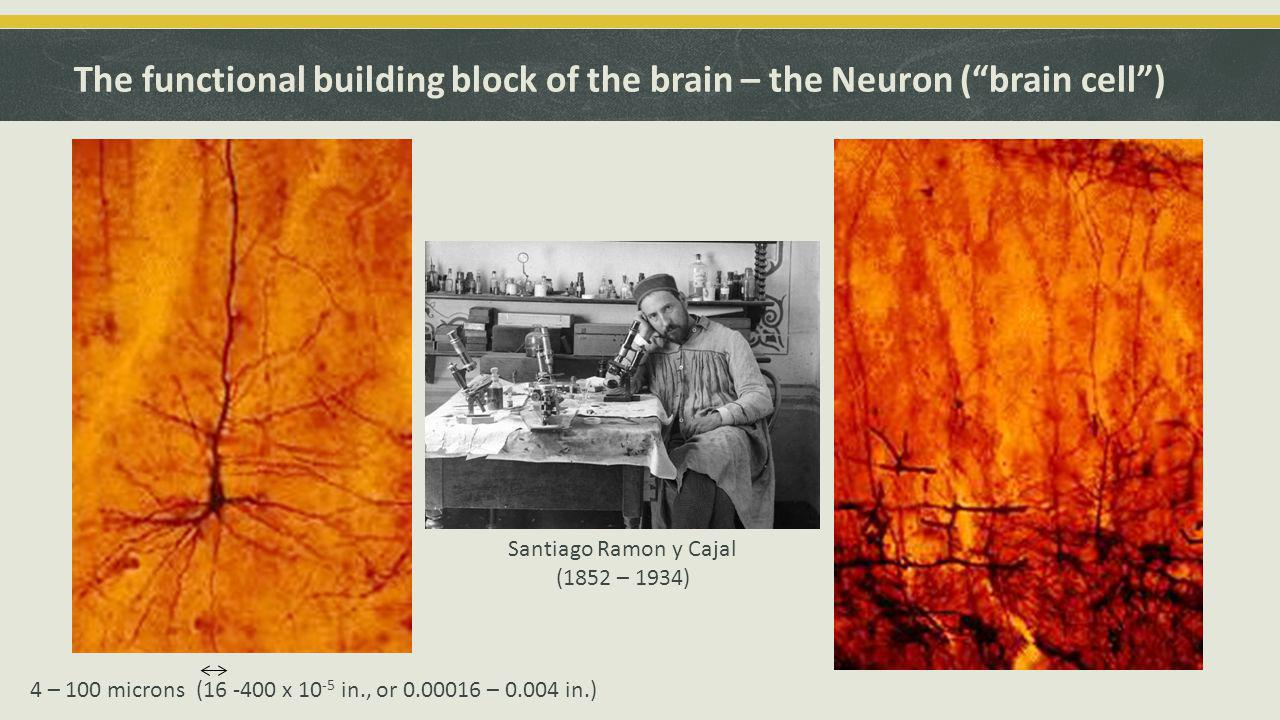 The functional building block of the brain – the Neuron ( brain cell ) Santiago Ramon y Cajal (1852 – 1934) 4 – 100 microns (16 -400 x 10 -5 in., or 0.00016 – 0.004 in.)