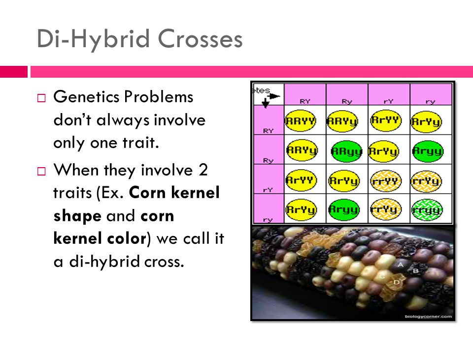 Di-Hybrid Crosses  Genetics Problems don't always involve only one trait.