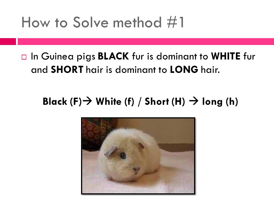 How to Solve method #1  In Guinea pigs BLACK fur is dominant to WHITE fur and SHORT hair is dominant to LONG hair.