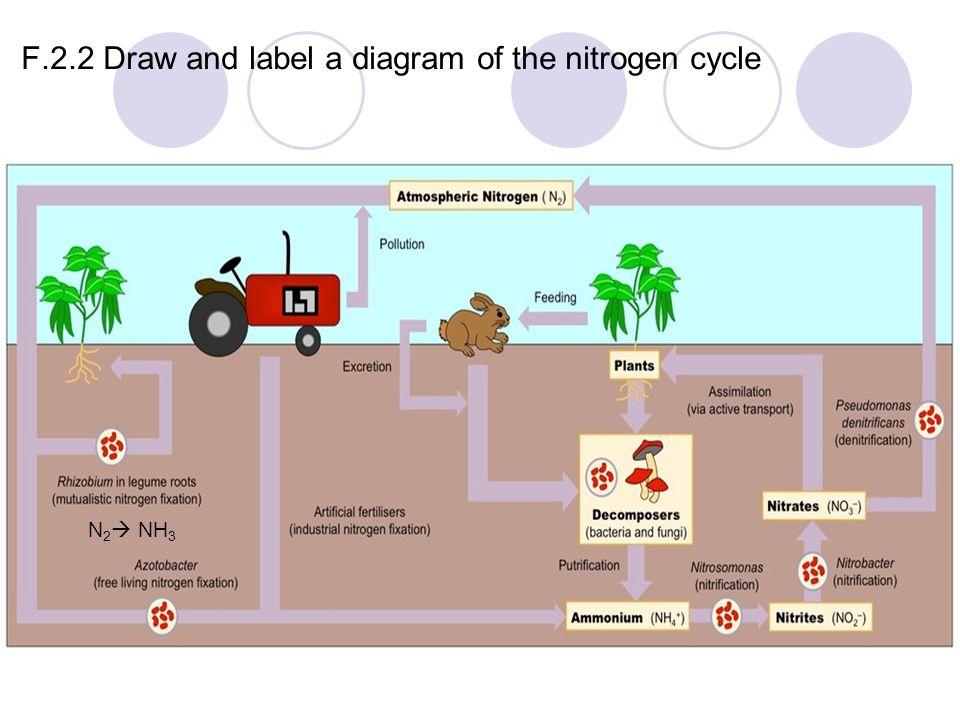 F.2.3 State the roles of Rhizobium, Azotobacter, Nitrosomonas, Nitrobacter, and Pseudomonas denitrificans in the nitrogen cycle BacteriaRole in nitrogen cycle RhizobiumNitrogen fixation (root nodules) AzotobacterNitrogen fixation (soil) NitrosomonasNitrification (NH 3  NO 2 - ) NitrobacterNitrification (NO 2 -  NO 3 - ) Pseudomonas denitrificans Denitrification (NO 2 - and NO 3 -  N 2 )