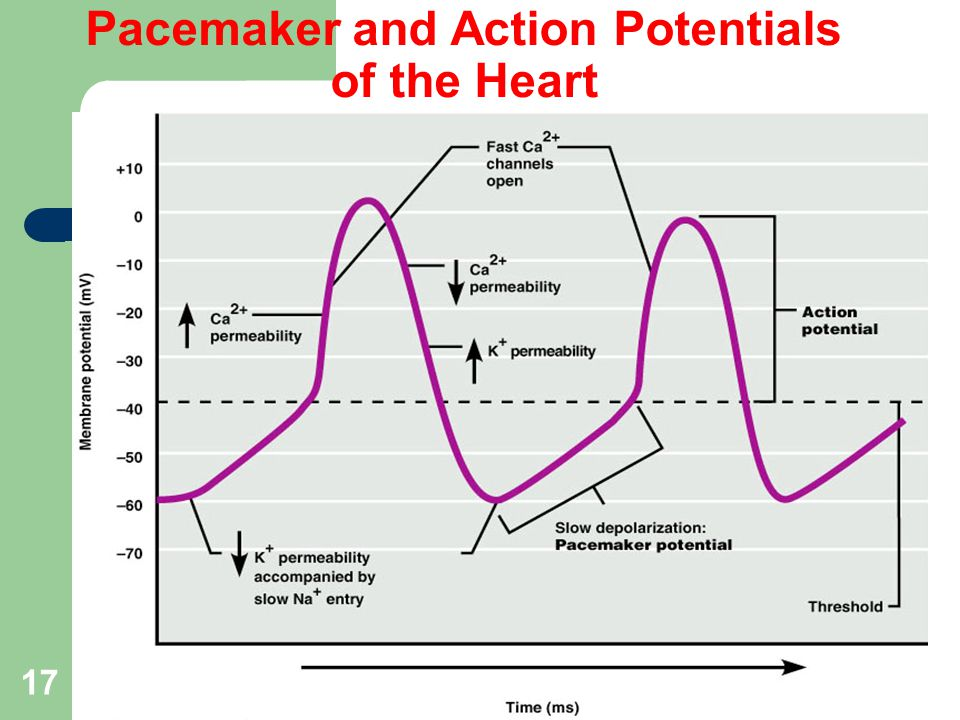 17 Pacemaker and Action Potentials of the Heart