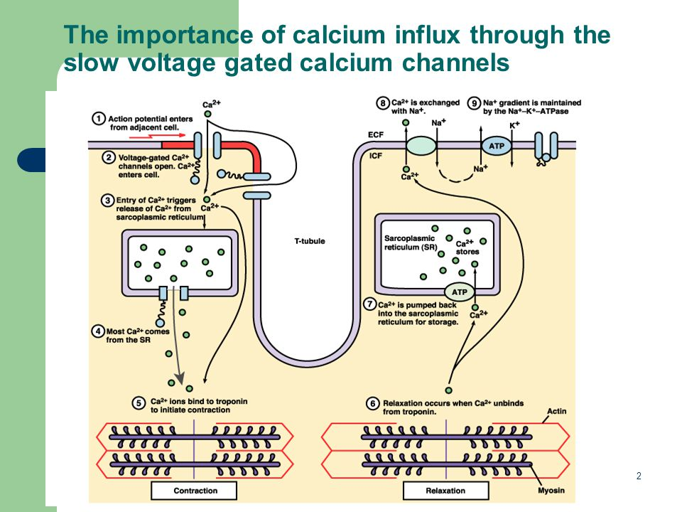 2 The importance of calcium influx through the slow voltage gated calcium channels