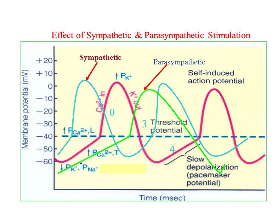 Effect of Sympathetic & Parasympathetic Stimulation 0 3 4 Sympathetic Parasympathetic Effect of Sympathetic & Parasympathetic Stimulation 0 3 4 Sympat