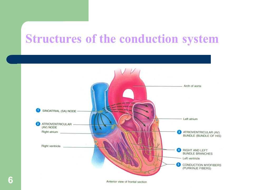 6 Structures of the conduction system