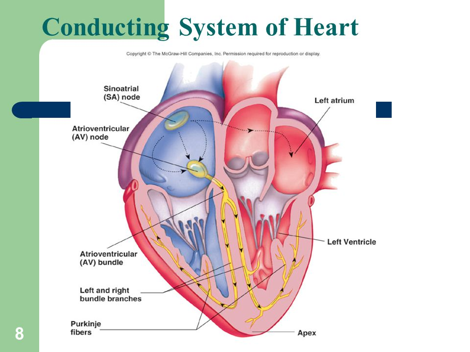 8 Conducting System of Heart