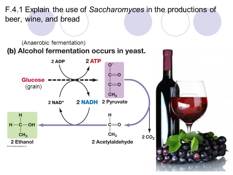 F.4.1 Explain the use of Saccharomyces in the productions of beer, wine, and bread (grain) (Anaerobic fermentation)