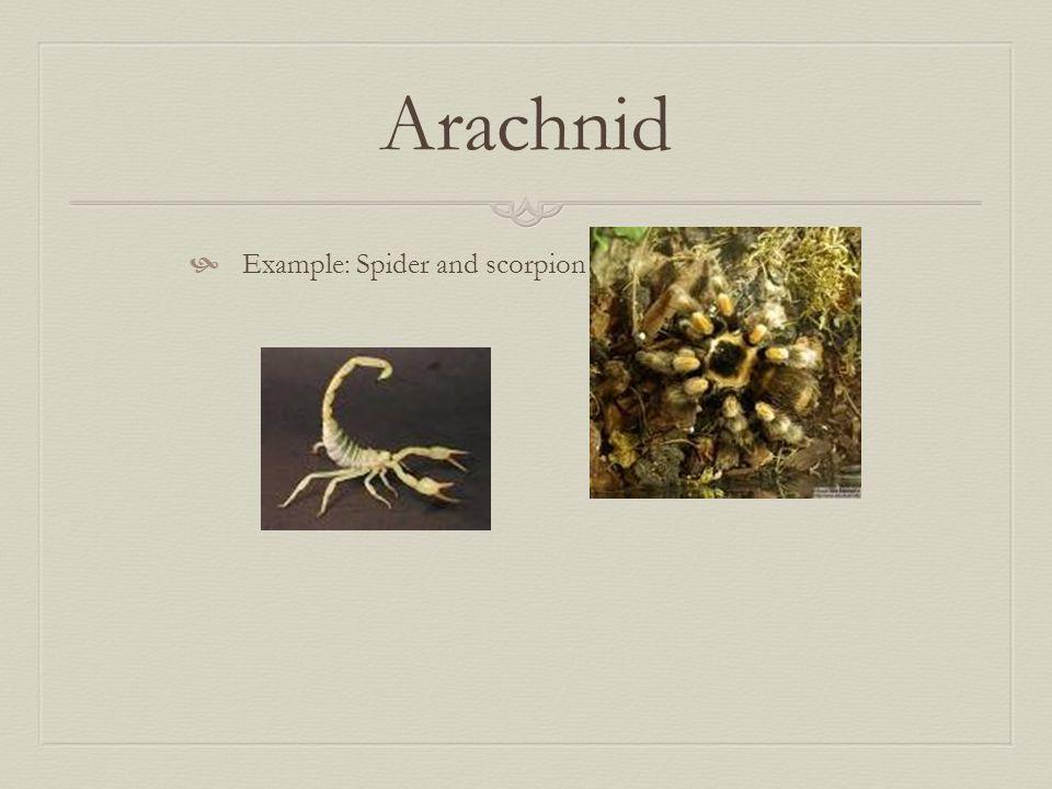 Arachnid  Example: Spider and scorpion