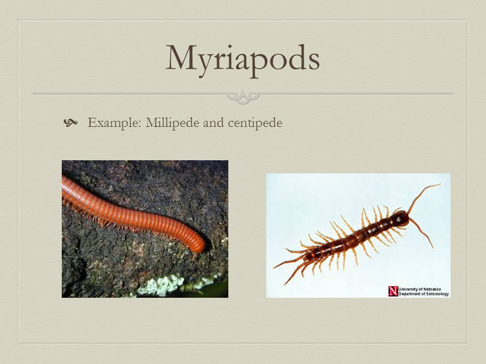 Myriapods  Example: Millipede and centipede