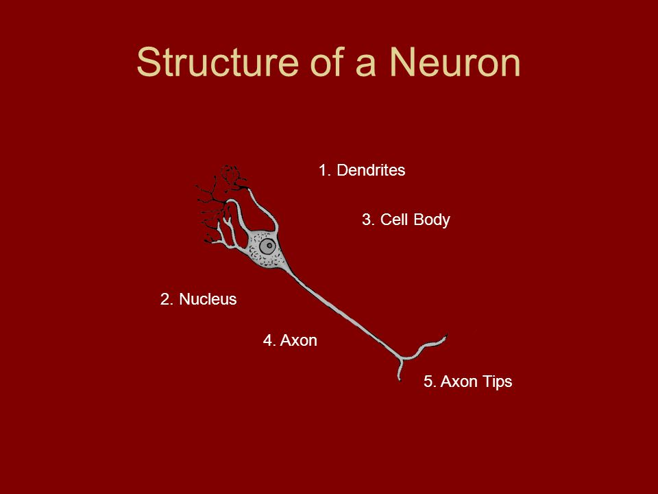 Kinds of Neurons Sensory Neuron: picks up stimuli from the internal or external environment on converts each stimulus into a nerve impulse Interneuron: a neuron that carries nerve impulses from one neuron to another Motor Neuron: sends an impulse to a muscle – the muscle contracts in response