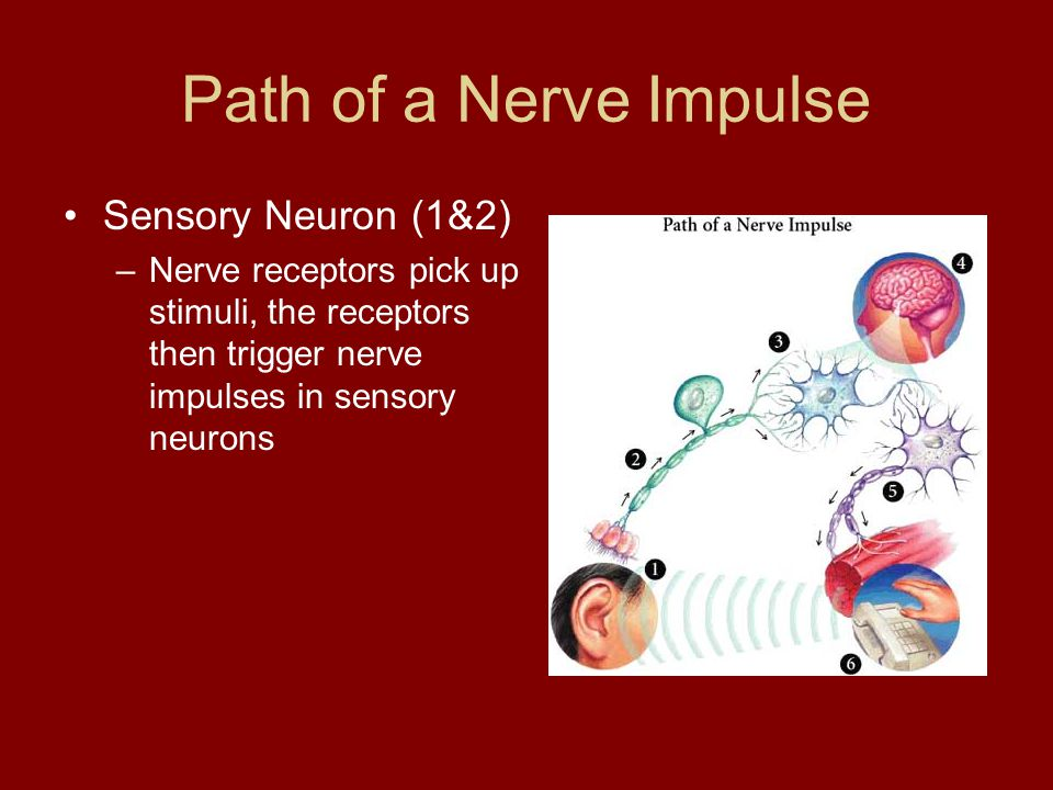 Path of a Nerve Impulse Interneuron (3 & 4) –Nerve impulse is passed to the brain.