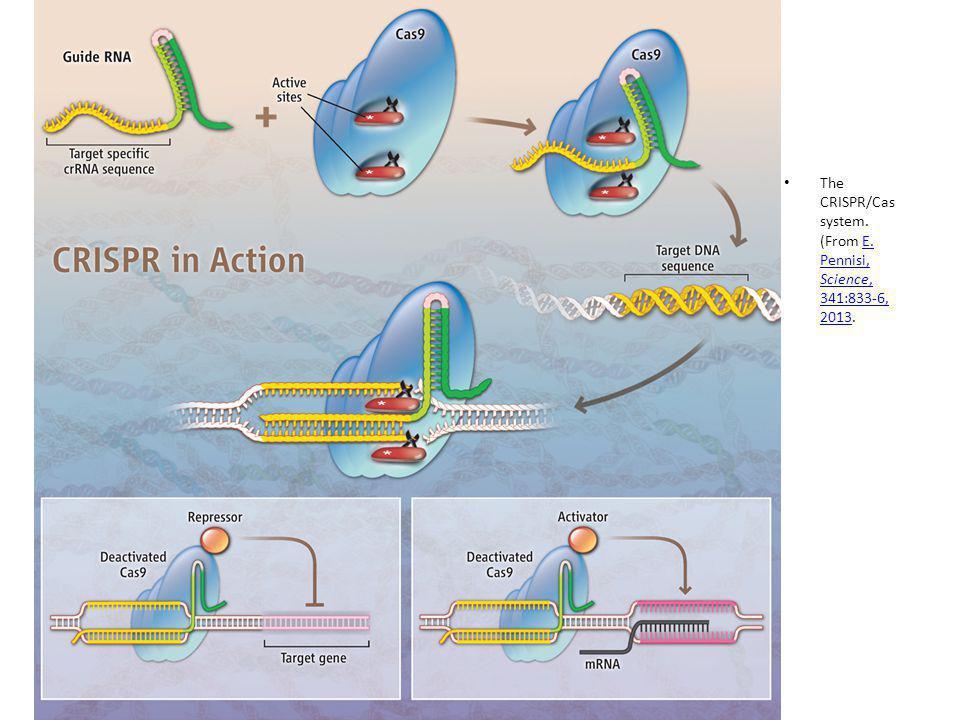 The CRISPR/Cas system.(From E. Pennisi, Science, 341:833-6, 2013.E.