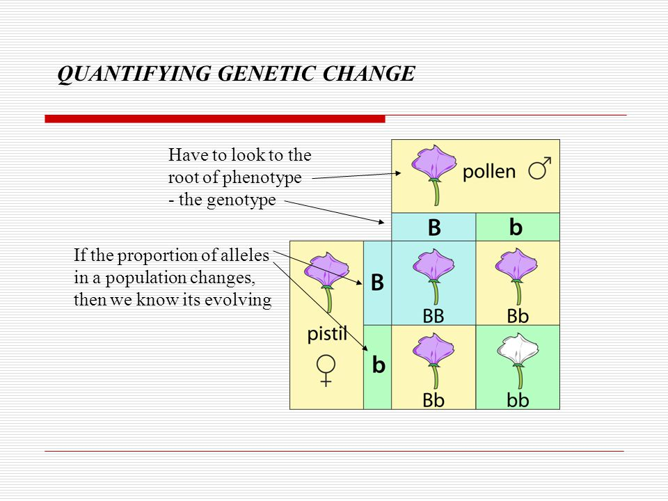 QUANTIFYING GENETIC CHANGE Bb Bb Bb 0.5 B/0.5b 0.67B/0.33b P F1 BB BB bb Dominant/recessive allele relationships add to the challenge!