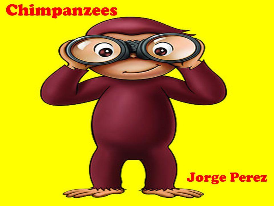 Chimpanzees Jorge Perez