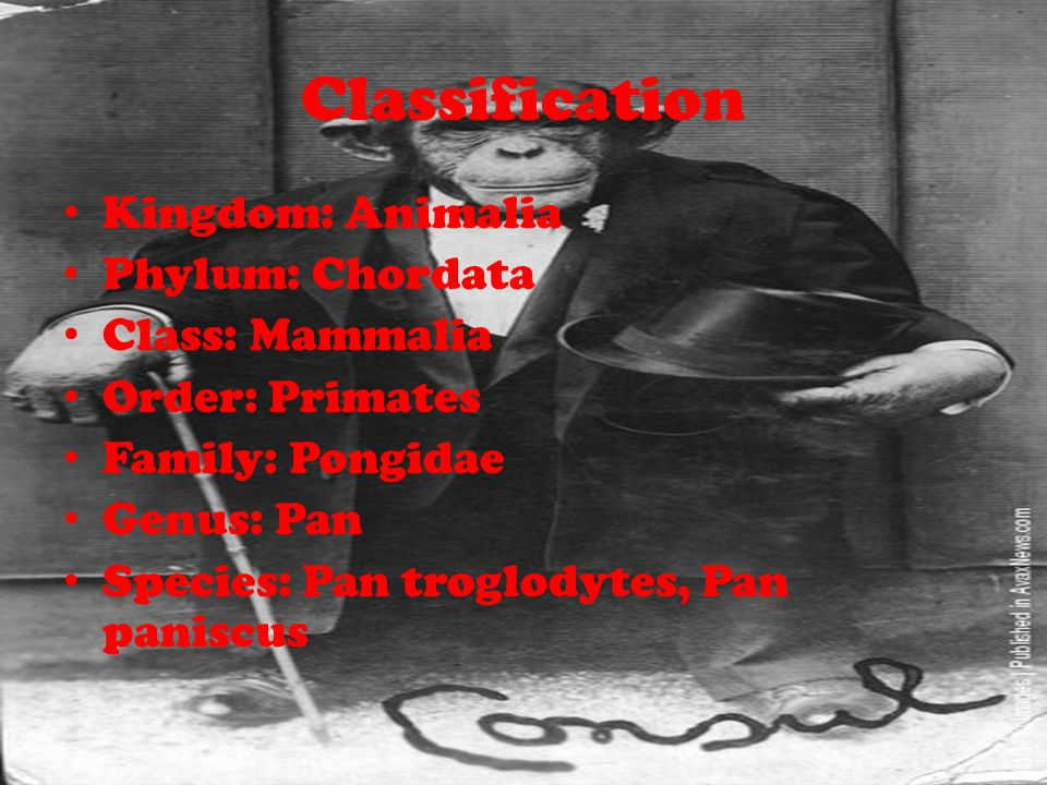 Classification Kingdom: Animalia Phylum: Chordata Class: Mammalia Order: Primates Family: Pongidae Genus: Pan Species: Pan troglodytes, Pan paniscus