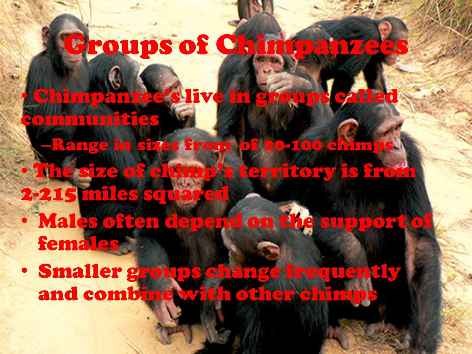 Groups of Chimpanzees Chimpanzee's live in groups called communities – Range in sizes from of 20-100 chimps The size of chimp's territory is from 2-215 miles squared Males often depend on the support of females Smaller groups change frequently and combine with other chimps
