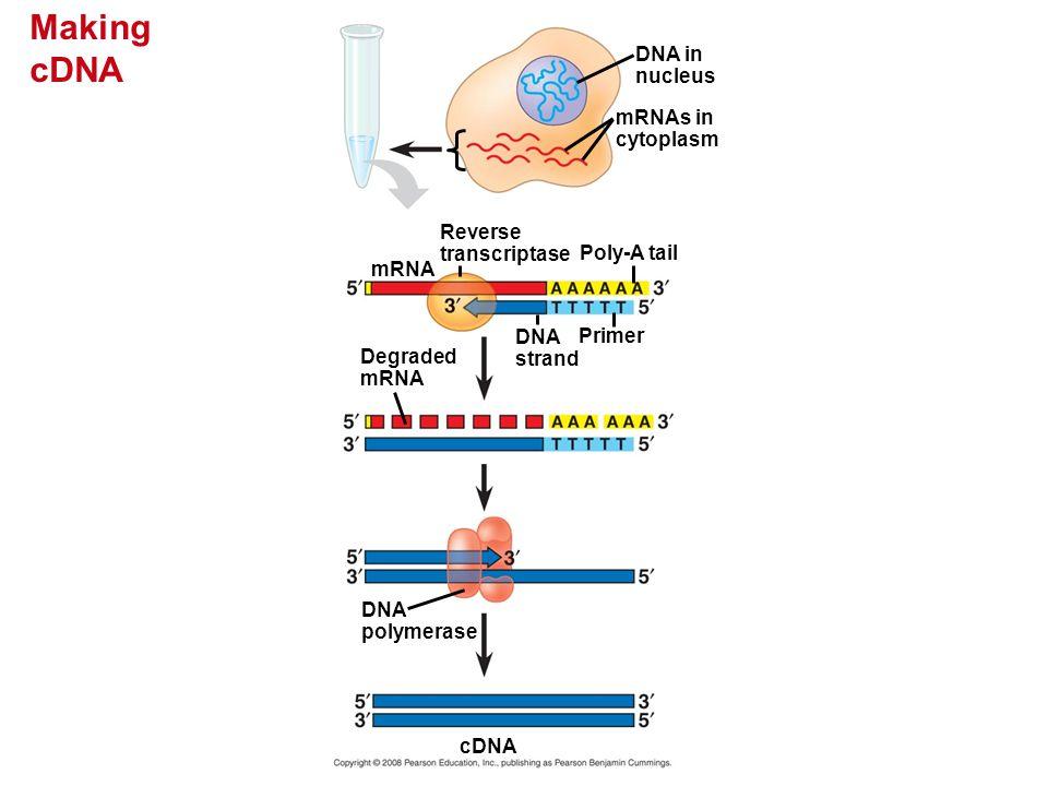 Making cDNA DNA in nucleus mRNAs in cytoplasm Reverse transcriptase Poly-A tail DNA strand Primer mRNA Degraded mRNA DNA polymerase cDNA