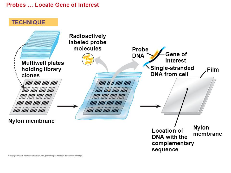 Probes … Locate Gene of Interest Probe DNA Radioactively labeled probe molecules Film Nylon membrane Multiwell plates holding library clones Location