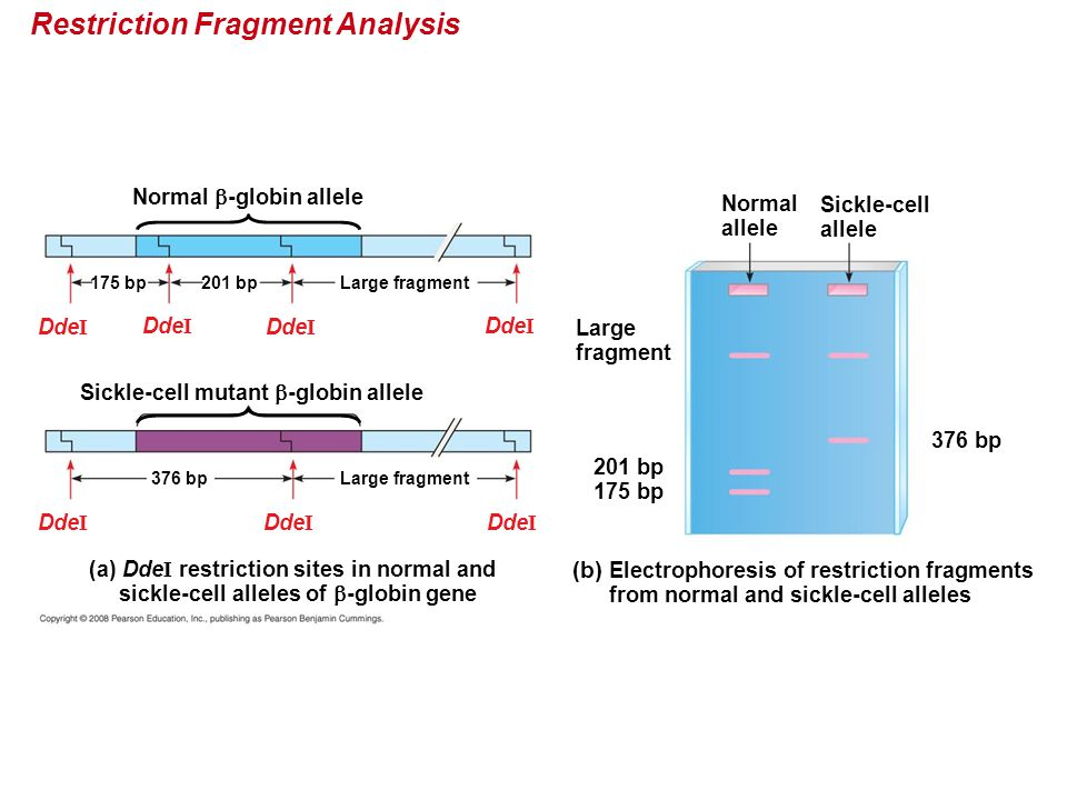 Restriction Fragment Analysis Normal allele Sickle-cell allele Large fragment (b) Electrophoresis of restriction fragments from normal and sickle-cell