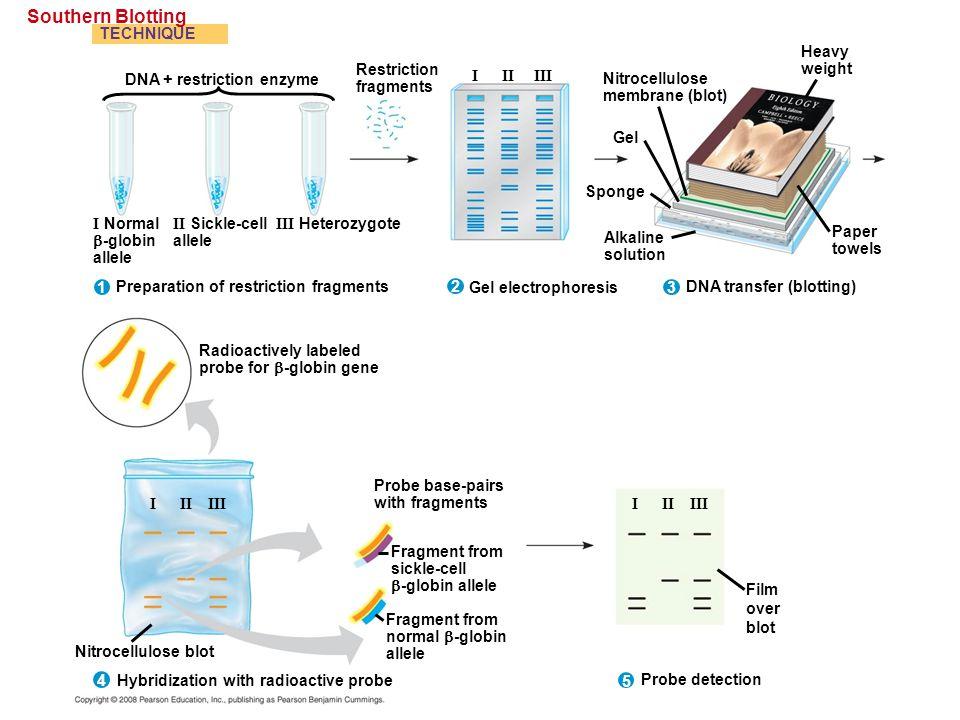 Southern Blotting TECHNIQUE Nitrocellulose membrane (blot) Restriction fragments Alkaline solution DNA transfer (blotting) Sponge Gel Heavy weight Pap