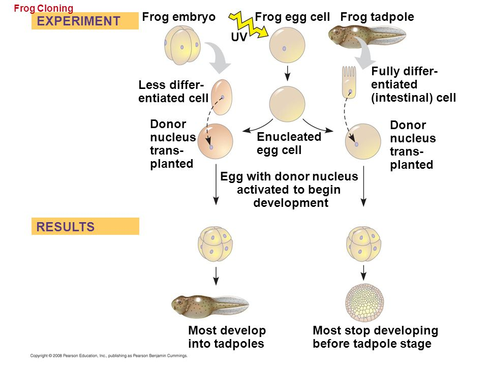 Frog Cloning EXPERIMENT Less differ- entiated cell RESULTS Frog embryo Frog egg cell UV Donor nucleus trans- planted Frog tadpole Enucleated egg cell