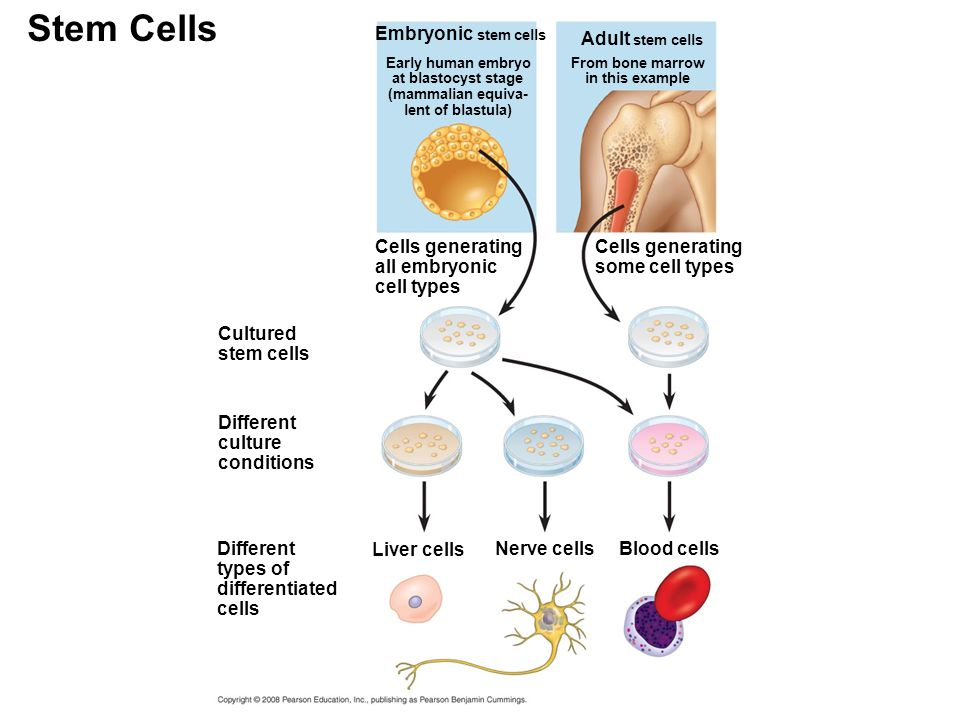 Stem Cells Cultured stem cells Early human embryo at blastocyst stage (mammalian equiva- lent of blastula) Different culture conditions Different type