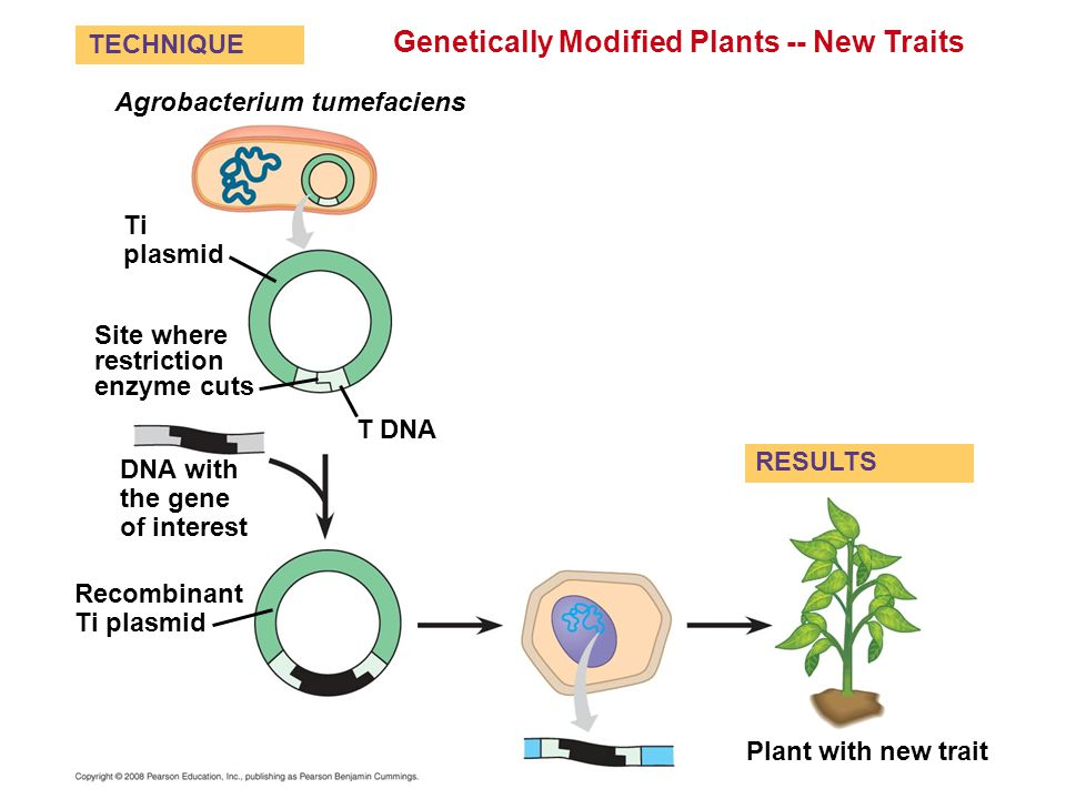 Genetically Modified Plants -- New Traits Site where restriction enzyme cuts T DNA Plant with new trait Ti plasmid Agrobacterium tumefaciens DNA with