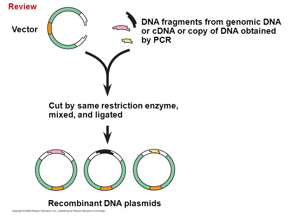 Review Cut by same restriction enzyme, mixed, and ligated DNA fragments from genomic DNA or cDNA or copy of DNA obtained by PCR Vector Recombinant DNA