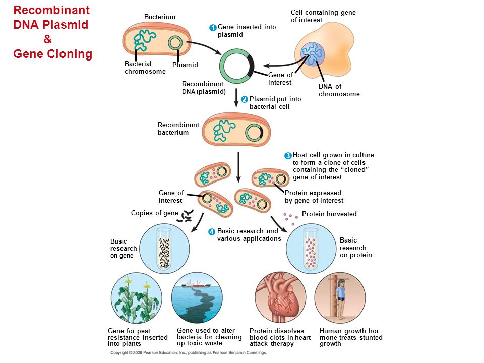 Recombinant DNA Plasmid & Gene Cloning DNA of chromosome Cell containing gene of interest Gene inserted into plasmid Plasmid put into bacterial cell R