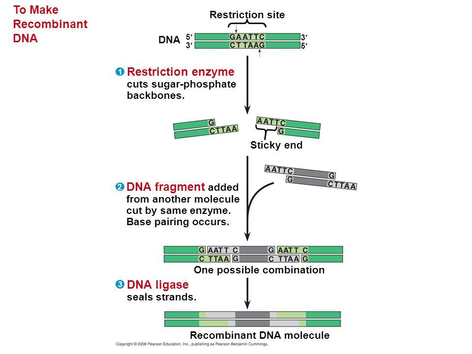 To Make Recombinant DNA Restriction site DNA Sticky end Restriction enzyme cuts sugar-phosphate backbones. 5353 3535 1 One possible combination Recomb