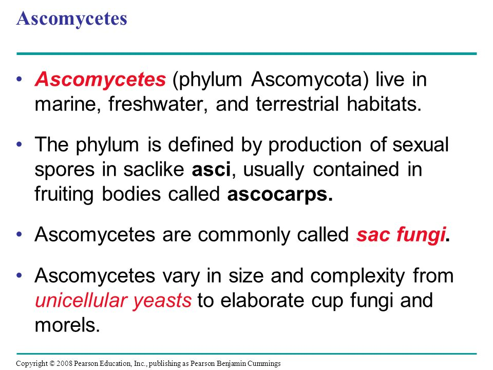 Copyright © 2008 Pearson Education, Inc., publishing as Pearson Benjamin Cummings Ascomycetes Ascomycetes (phylum Ascomycota) live in marine, freshwat