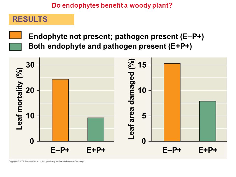 Do endophytes benefit a woody plant? Both endophyte and pathogen present (E+P+) Endophyte not present; pathogen present (E – P+) Leaf area damaged (%)