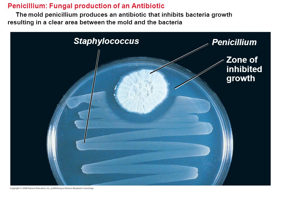 Penicillium: Fungal production of an Antibiotic The mold penicillium produces an antibiotic that inhibits bacteria growth resulting in a clear area be