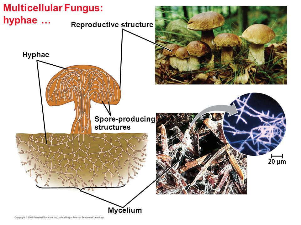 Copyright © 2008 Pearson Education, Inc., publishing as Pearson Benjamin Cummings Septate fungi - Some fungi have hyphae divided into cells by septa, with pores allowing cell-to-cell movement of organelles.