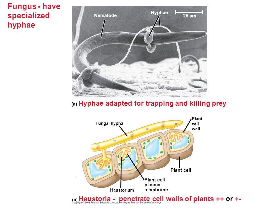 Fungal Diseases in Plants (c) Ergots on rye(a) Corn smut on corn (b) Tar spot fungus on maple leaves